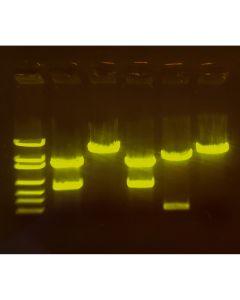 Edvotek A-maizing Editing: Using CRISPR to Improve Crops [80200]