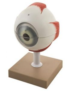 Eye Model - 5 Times, 6 Parts [0947]