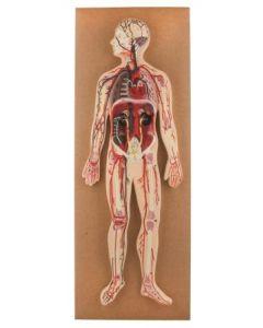 Human Circulatory System Model: Half-Size [2896]