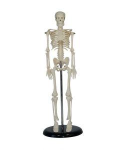 Human Skeleton Desk Top Model [1988]