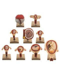 Gestation Model: Set of 9 Period of Gestation [0948]