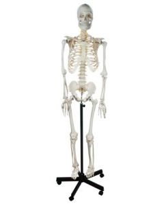 Human Skeleton Model Life-Size [0418]